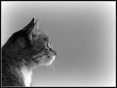 Perfil (MaPeV) Tags: cats canon chats chat tabby kitty gatos powershot gato kawaii neko katze morris gatti felin gattoni gattini g16 tabbyspoted bellolindoguapetn