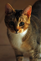 Yui (Larah McElroy) Tags: pictures cats animal animals cat photography kitten feline picture kitty kittens photograph kitties felines mcelroy larah larahmcelroy