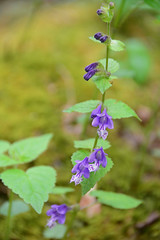 Meehan's mint (qooh88) Tags: purple perennial lamiaceae    meehania meehansmint   meehaniaurticifolia