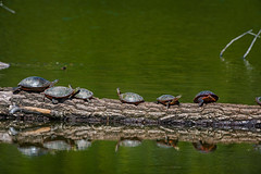 TurtleParty (jmishefske) Tags: park county wisconsin pond nikon painted may lagoon turtles milwaukee greenfield 2016 westallis d800e