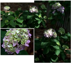Pink Hydrangea (jalexartis) Tags: flowers flower spring bloom hydrangea blooms shrub shrubbery pinkhydrangea