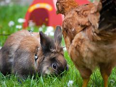 DSC_0953 (divi333) Tags: rabbit bunny bunnies ferrara rabbits conigli coniglio 2016 conigliando
