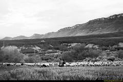 Millenary lands. (jongoikoh) Tags: sheep shepherd flock pantano aragon tradition pastor job embalse navarra tradicion esco ovejas nafarroa oficio yesa mendiak milenario urtegia artzaina