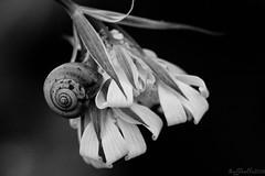 A testa in gi ((Raffaella@)) Tags: flower primavera spring snail campagna campo giugno fiore lumaca sera chiocciola allaperto