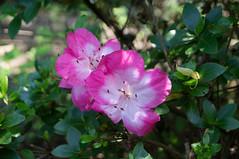DSC07342.jpg (liangjinjian) Tags: usa flower geotagged maryland silverspring  glenallen alphaa55sony geo:lat=3905589667 geo:lon=7703751833
