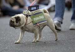 Pug Crawl in Portland, sponsored by the Oregon Humane Society. (nataliebehring.com) Tags: costumes usa dog pet pets cute dogs animal oregon portland costume pug canine pugs humanesociety pugcrawl