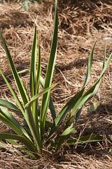 Yucca rupicola (Layla Dishman) Tags: asparagaceae