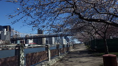 Clear Day Over 59th St. Bridge with R.I. Promenade - IMGP4208 (catchesthelight) Tags: skyline buildings manhattan bluesky views promenade eastriver queensborobridge rooseveltisland floweringtrees 59thstbridge tudorcity newyorkcityny springvisit edkochbridge april2016