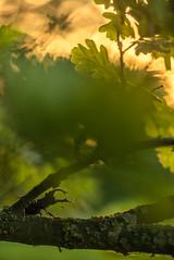 Lucanus cervus (melnikovee) Tags: wild macro art nature bug oak stag branch beetle lucanus cervus