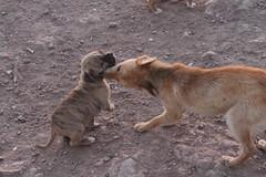 IMG_8053 (Gioser_Chivas) Tags: animal can perro mascota mamifero vertebrado gioserchivas