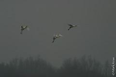 Mark Kras-Lepelaar-IMG_4646.jpg (markkras-fotografie) Tags: birds animals fauna nederland vogels aves nl dieren lepelaar platalealeucorodia eurasianspoonbill