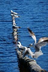 Gull Gathering (burgerno) Tags: gull gulls fujifilmxt1 fujifilm xt1 fuji fujinonxc50230 xc50230 fujinon branch water lake