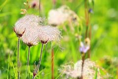 prairie smoke seed plumes at Chipera Prairie IA 854A7288 (lreis_naturalist) Tags: county flower smoke seed reis iowa larry prairie plumes winneshiek chipera
