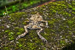Bones  () Tags: bones frog
