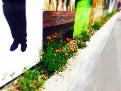 Des coquelicots dans ma ville ! Si si  (fourmi_7) Tags: flowers red nature fleurs travail poppies rue ville coquelicots prfre rurale traveaux