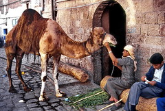 Sana'a, camel (gerard eder) Tags: world travel animals ancient asia middleeast viajes yemen sanaa camels reise ancientcity