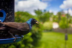 Grackle in Water Color (Mike M Martin) Tags: sky bird nature birds spring 28mm feeder grackle potd m42 vivitar manualfocus f25