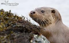 Eurasian Otter - 1st May 2016 (TopBeater) Tags: otter mull isleofmull otters mustelids mammalphotography scotland scottish wildlife ukmammal loch