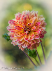Summer bunch (frederic.gombert) Tags: pink dahlia flowers light red sun sunlight flower color macro green classic colors yellow purple sunny greatphotographers macrodreams