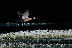 _F0A2843.jpg (Kico Lopez) Tags: birds rio spain aves galicia lugo mio anasplatyrhynchos anadeazulon