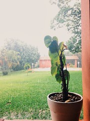 New Photo in Profile (Vitor S. Wars) Tags: flower verde green planta nature rain natureza chuva falling vaso