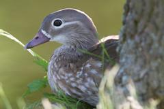 Mandarin Duck [Aix galericulata] Mandarinente, Weibchen (Antti Seelaff) Tags: mandarinduck aixgalericulata mandarinente