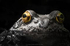 Sehend (seeing) 1 (r.steiling) Tags: portrait bw color macro face animal blackwhite eyes gesicht frog 28 60mm augen lowkey frosch zuiko tier reptil schwarzweis keying omdem1 selektivcoloring