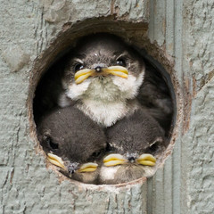 Mess with one of us, you mess with all of us. (www.streetmonkey.org) Tags: house nature birds three wildlife holes chicks nests