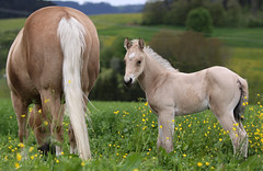 Little Rose and Raya (winkler.roger) Tags: horse animal pasture filly foal americanquarterhorse domesticanimal
