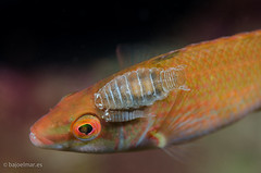 DSC_4307 (bajo_el_mar) Tags: pez underwater asturias lastres 2016 fotosub cantbrico centrolabrusexoletus lbrido