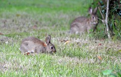 Rabbits  (5) Baby with Mum Behind it (John Carson Essex) Tags: thegalaxy supersix rainbowofnature thegalaxystars