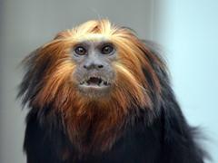 DSC_0866 (Sketchpoet) Tags: zoo monkey marmoset tamarin newworldmonkey goldenheadedliontamarin smallmonkey santaanazoo liontamarin