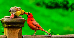 The kiss of life.... (tomk630) Tags: nature colors birds dawn virginia cardinal feeding