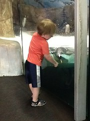 "Paul Watches Penguins at the Kansas City Zoo • <a style=""font-size:0.8em;"" href=""http://www.flickr.com/photos/109120354@N07/27754678012/"" target=""_blank"">View on Flickr</a>"