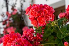 IMG_2125 (bacasr) Tags: red espaa plants flower color colour andaluca spain rojo plantas flor geranium geranios