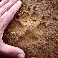 big paw print (ameliabeare) Tags: dog puppy print malamute pawprint alaskanmalamute