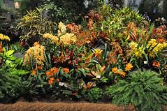 2016-03-11_0289n_waldor (lblanchard) Tags: orchid waldor displaygarden 2016flowershow