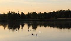 Morning Swim (jmaxtours) Tags: park sun lake toronto ontario sunrise dawn centennial pond ducks etobicoke centennialpark torontoontario morningswim etobicokeontario centennialparketobicoke