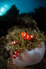 Trio of percula clownfish (Luko GR) Tags: coral bulb underwater philippines diving surface clownfish anemone bohol anda reef visayas anemonefish amphiprionpercula tokina1017 fisheyewideangle