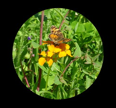 Beautiful butterfly and sunshine yellow flowers (peggyhr) Tags: blue canada green yellow butterfly alberta wildflowers peggyhr bluebirdestates dsc07924a