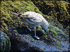 DSCN9869 (DianeBerky19) Tags: beach seagull gulls nikoncoolpixp900