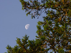 P6269230 (Paul Henegan) Tags: moon tree pine earlymorninglight waninggibbous