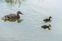 Duckling pair