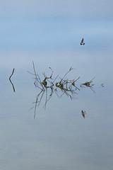 (frewmanchu) Tags: bird water britishcolumbia delta refelction reifelbirdsanctuary