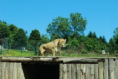 Murazzano, Safari, Tigre (alexgiordano965) Tags: zoo safari murazzano cuneo piemonte italia animali animal langhe roero monferrato colline piedmont italy natura nature tigre tiger parco