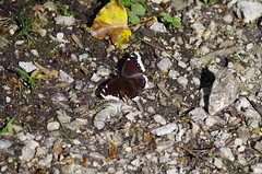 Trauermantel (Aah-Yeah) Tags: beauty butterfly bayern mourning cloak camberwell schmetterling achental nymphalis chiemgau antiopa trauermantel tagfalter