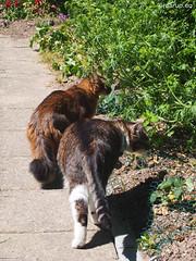 On patrol (Finn Frode (DK)) Tags: summer pet cats animal cat garden denmark outdoor rags watch olympus som somali mixedbreed somalicat patrol bastian domesticshorthair omdem5 dusharatattersandrags