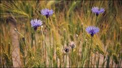 feels like home (***toile filante***) Tags: flowers summer nature field insect cornfield dof sommer natur feld blumen poetic emotions insekt feelings kornfeld cornflowers kornblumen gefhl getreidefeld poetisch