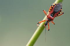 Gyilkos poloska (Rhynocoris iracundus) (spillermeister) Tags: rhynocoris iracundus macro insect rovar
