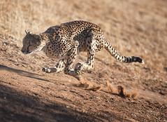 namibia (peo pea) Tags: africa nature bush natura run namibia animale savana ghepardo